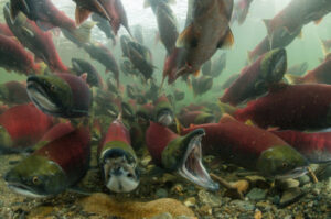 (2021) - Female salmon dying more than twice as much as male salmon in B.C., study says